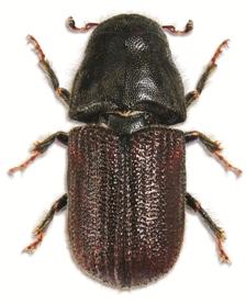 Mountain pine beetle (Photo by Wikimedia Commons, Steve Clarkson)
