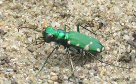 Northern barrens tiger beetle (Photo by Dan MacNeal, CC BY 4.0)