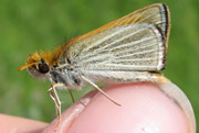 Poweshiek skipperling (Photo by NCC)