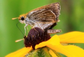 NCC's Tall Grass Prairie Natural Area protects Canada's only population of endangered Poweshiek skipperling. (Photo by NCC)