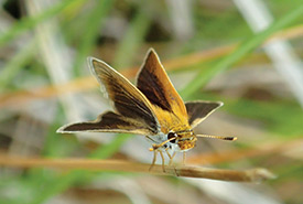 Poweshiek skipperling (Photo by Rachel Carol)