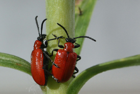 Red lily beetle (Photo from Wikimedia Commons)