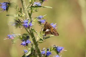 Silver spotted skipper (Photo by NCC)
