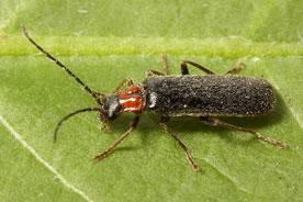 Soldier beetle (Photo © Stephen Luk)