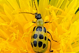 Spotted cucumber beetle (Photo by Todd Norris, CC BY-NC 4.0)