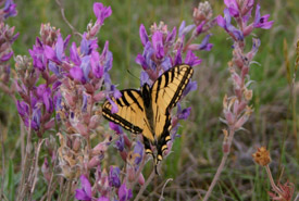 Tiger swallowtail on purple locoweed (Photo by Diana Robson)