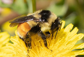 Tri-coloured bumble bee (Photo by sylviejubinville49, CC BY-NC 4.0)