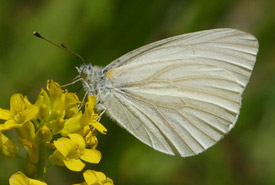 West Virginia white butterfly (Photo by Randy L. Emmitt)