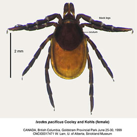 Western blacklegged tick (Photo by W. Lam, U of Alberta, Strickland Museum)