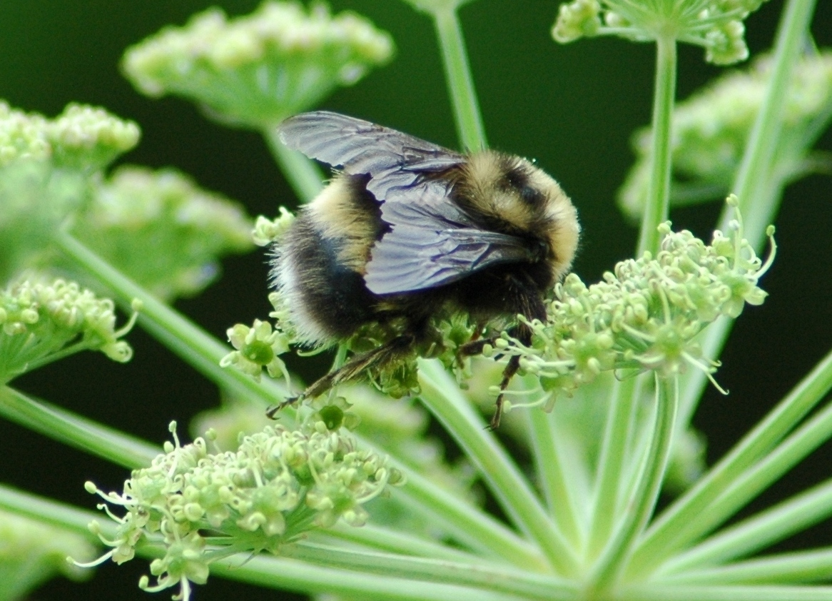 Western bumble bee (Photo by sydcannings, CC BY-NC 4.0)
