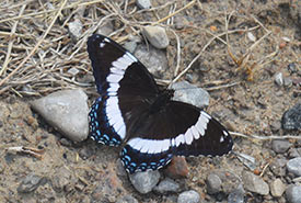 White admiral, Carden Alvar, ON (Photo by NCC)