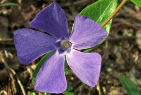 Periwinkle (Photo by Wikimedia Commons)