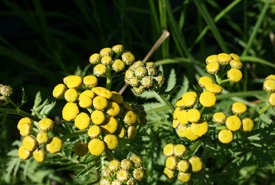 Common tansy (Photo by NCC)