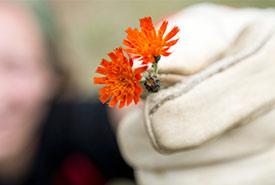 Orange hawkweed (Photo by NCC)