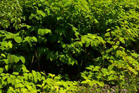 Japanese knotweed (Photo by NCC)