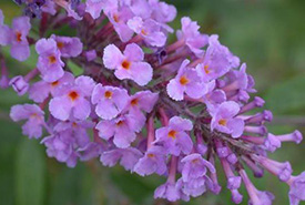 Butterfly bush (Photo by Dave Whitinger, Wikimedia Commons)