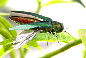 Emerald ash borer adult (Photo by by U.S. Department of Agriculture)