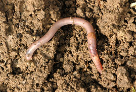 European earthworm (Photo by James Lindsey, Wikimedia Commons)