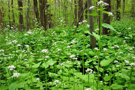 Invasive garlic mustard, Clear Creek Forest, Ontario (Photo by NCC)