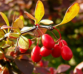 Japanese barberry (Photo by Wildfeuer, Wikimedia Commons)
