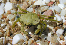Juvenile European green crab (Photo by Luis Miguel Bugallo Sanchez)