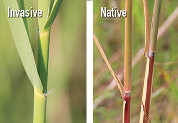 Comparing invasive phragmites stems (left) to native phragmites stems (right) (Photo courtesy of the Great Lakes Phragmites Collaborative)