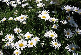 Oxeye daisy (Photo by Gabelstaplerfahrer, Wikimedia Commons)
