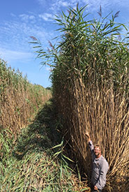 Phragmites, ON (Photo by Giles Restoration Services Inc.)