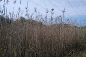 Phragmities patch before it was cut down at Loughborough Wilderness Complex (Photo by Megan Quinn)