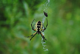 Garden spider at the Rice Lake Plains, ON. (Photo by NCC)
