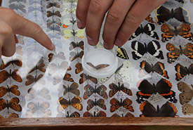 Identifying butterflies (Photo by NCC)