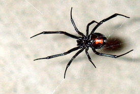 A female black widow spider (Photo from the Wikipedia Commons)