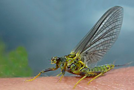 Blue-winged olive (BWO) (Photo from The English Fly Fishing Shop)