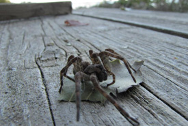 A dock spider (Dolomedes sp.) (Photo by Jill Crosthwaite/ NCC)