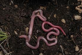 Earthworm (Photo by Eitan F/Wikimedia Commons)