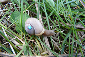 White-lip snail, tagged for research purposes (photo by Annegret Nicolai)