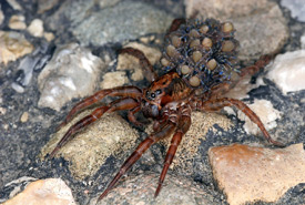 Wolf spider carrying eggs (Photo by Valerius Geng/Wikimedia Commons)