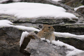 American pika (Photo by Allison Haskell)
