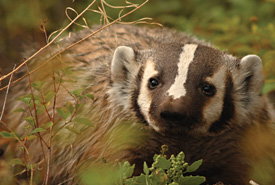American badger (Photo by Max Allen/Shutterstock)