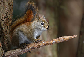 American red squirrel (Photo by Cephas/Wikimedia Commons)