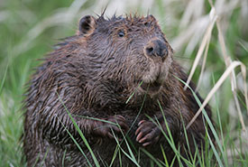 Beaver (Photo by Jason Bantle)