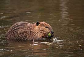 North American beaver (Photo by Fabio Bretto)