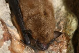 Grande chauve-souris brune ou sérotine brune (Photo de USFWS/Wikimedia Commons)