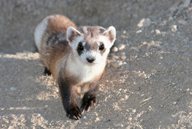 Black-footed ferret (Photo by U.S. Fish & Wildlife Service Mountain Prairie)