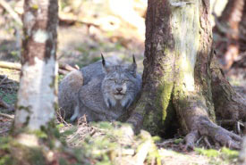 The Canada lynx is a nationally endangered species, and it is provincially endangered in both Nova Scotia and New Brunswick (Photo by Mike Dembeck)