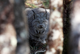 Catching a glimpse of a Canada lynx hidden between the trees. (Photo by Mike Dembeck)