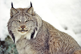 Canada lynx (Photo by Shutterstock)