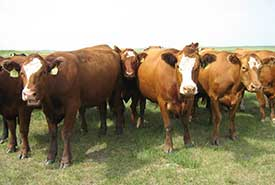 Cattle, AB (Photo by NCC)