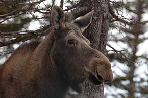 Moose on the Chignecto Isthmus (Photo by Mike Dembeck)