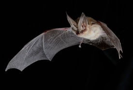 Townsend's big-eared bat (Photo by Brock Fenton)